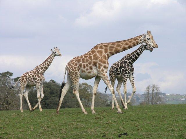 rotchild-giraffes