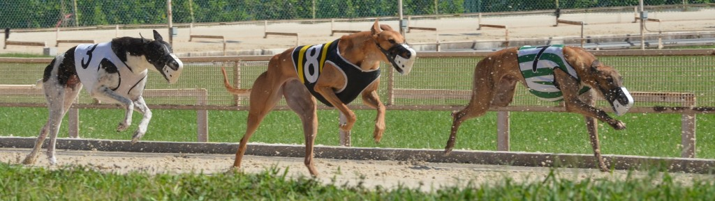 Dogs_race_down_front_stretch_derby_lane
